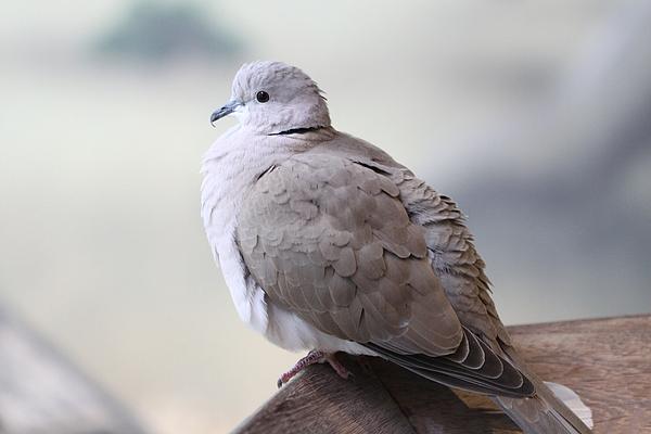 Bird Photograph - Dove by Paul Slebodnick