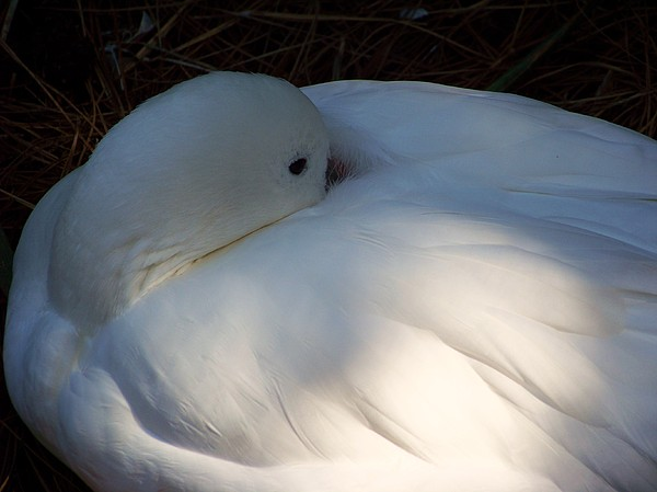 Bird Photograph - Down For A Nap by Karen Wiles