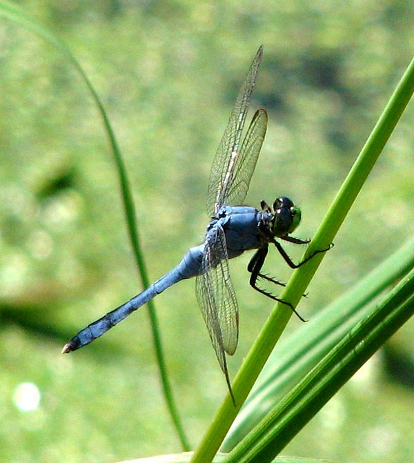 Dragonfly Photograph - Dragonfly 4 by J M Farris Photography