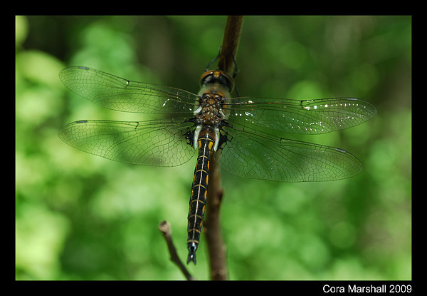 Dragonfly Photograph - Dragonfly by Cora Marshall