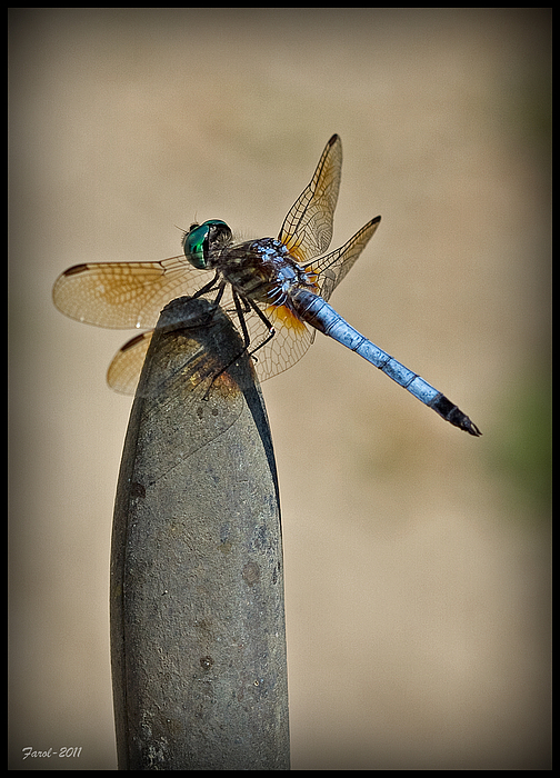 Insect Photograph - Dragonfly by Farol Tomson