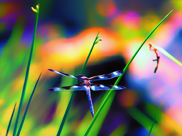 Dragonfly Photograph - Dragonfly On Pastels by Bill Tiepelman