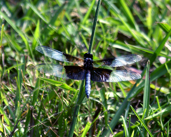 Dragonfly Photograph - Dragonfly Resting by D Winston