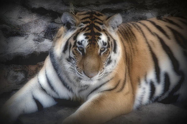Big Cats Digital Art - Dreamy Tiger by Sandy Keeton