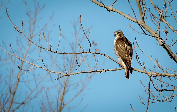 Canon Photograph - Drive By Hawk by Ricky L Jones