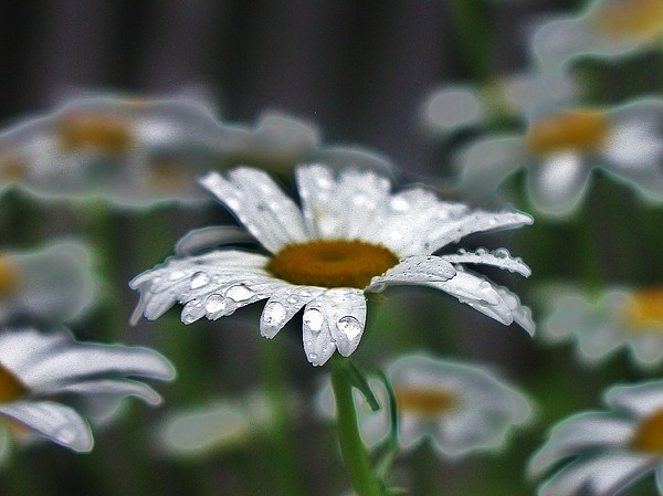 Daisy Photograph - Droplets On Daisies by Emily Michaud