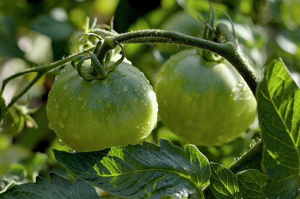 Drop Photograph - Drops On Immature Green Tomatoes After A Rain Shower by Sami Sarkis
