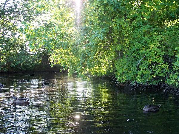 Ducks Photograph - Duck Pond by Rosanne Bartlett