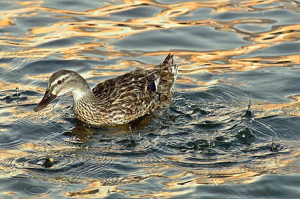 Duck Photograph - Duck Tracy by Marvin Rivera