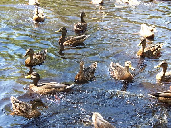 Ducks Photograph - Duck World by Rosanne Bartlett