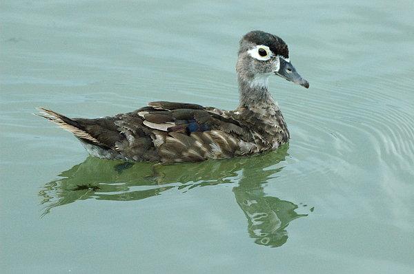 Bird Photograph - Duckling by Teresa Blanton