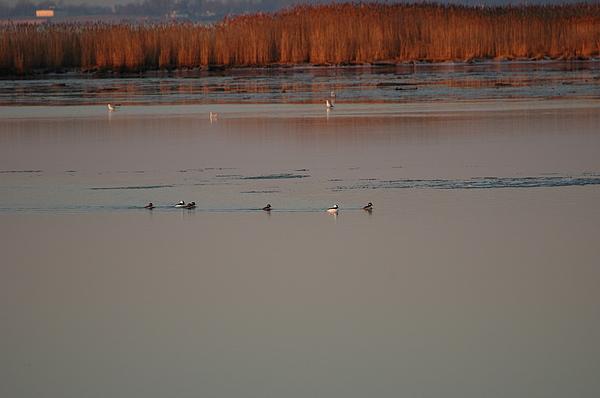 Chesapeake Bay Photograph - Ducks by Marc Van Pelt