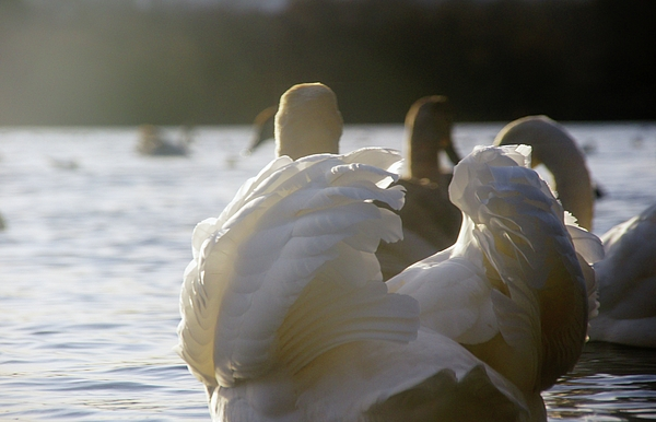 Sony Photograph - Duddingston Swan 16 by Nik Watt