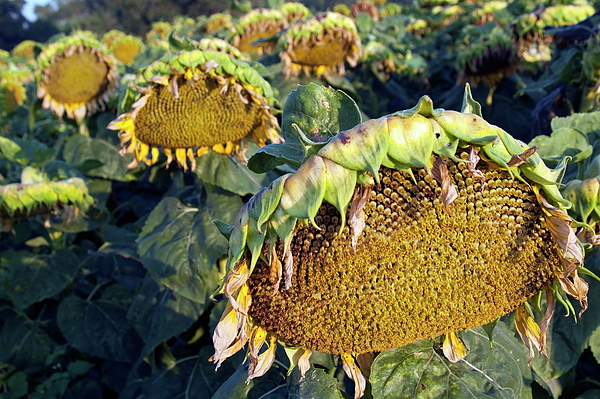 Agricultural Photograph - Dying Sunflowers In Field by Sami Sarkis