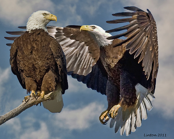 American Bald Eagle Photograph - Eagle Pair 3 by Larry Linton