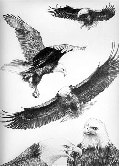 Wildlife Drawing - Eagles Gathering by Bob Patterson