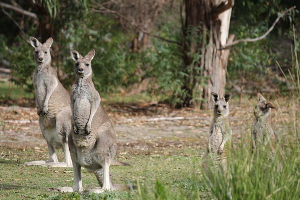 Roo Photograph - Eastern Grey Kangaroo Family by Roo Printz