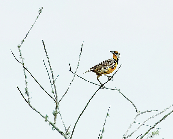 Alone Photograph - Eastern Meadowlark II by Dawn Currie