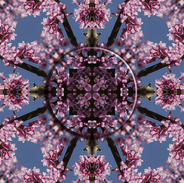 Mandala Photograph - Eastern Red Bud Mandala by Alan Skonieczny