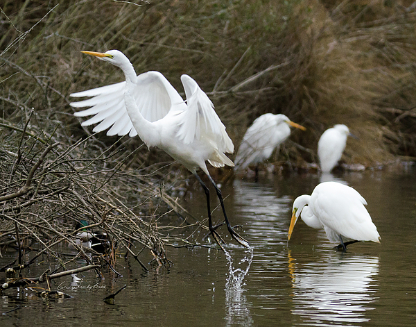 Egret Photograph - Egret Exit by George Randy Bass