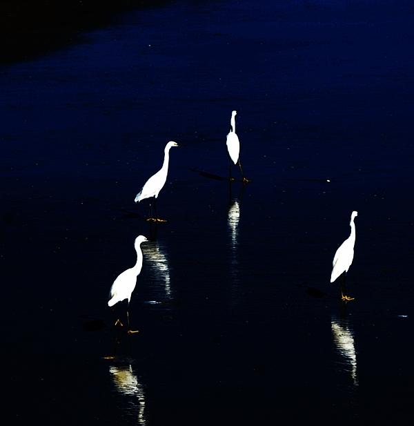 Sea Birds Digital Art - Egret Reflections by David Lane