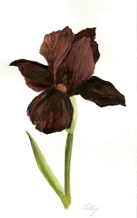 elderly Iris Painting by Susan Tilley