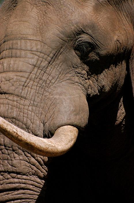 Elephant Photograph - Elephant Close Up by Tess Haun