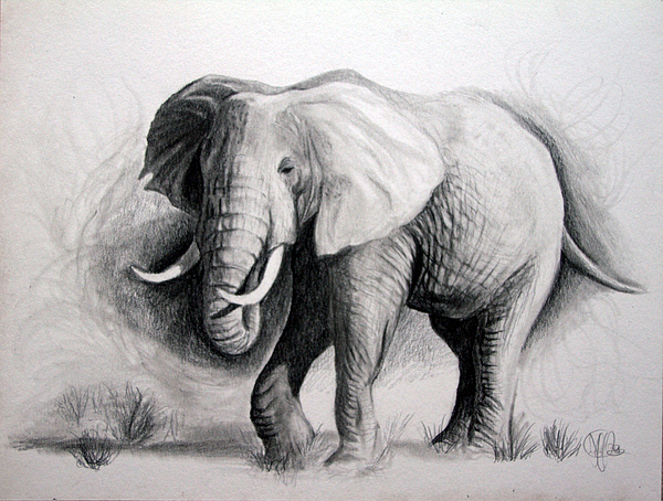 Elephant Drawing By Jeff Noble