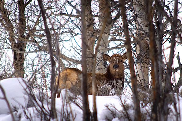 Elk Photograph - Elk 2 by Alicia Frese Klenk