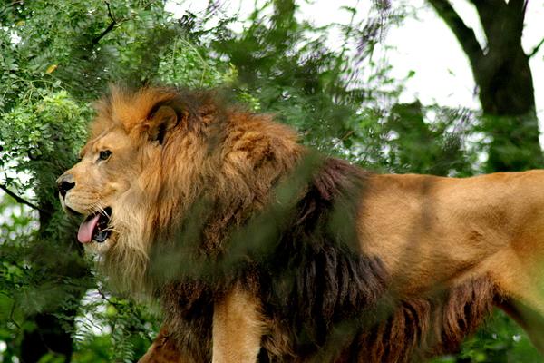 Lion Photograph - Endless Pride by ShadowWalker RavenEyes Dibler