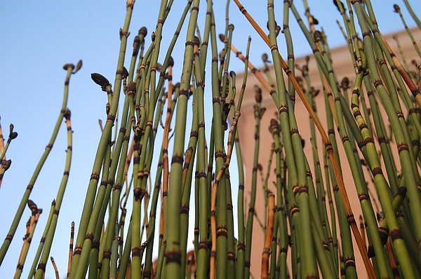 Grass Photograph - Equisetum by Jean Booth