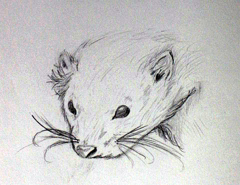 Ferret Drawing - Ethel by Kate Collins