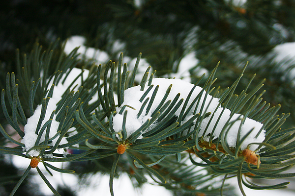Evergreen Photograph - Evergreen by Kevin Phipps
