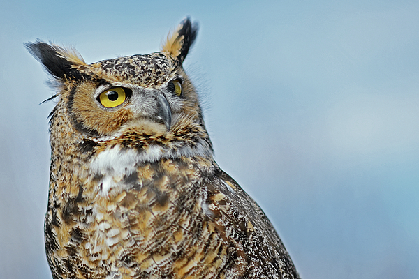 Asbed Iskedjian - Eye-contact with the Great Horned Owl