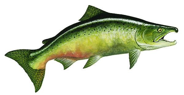 Salmon Painting - Fall Chinook Salmon by Shari Erickson