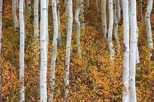 Aspen Photograph - Fall Color by Dori Peers