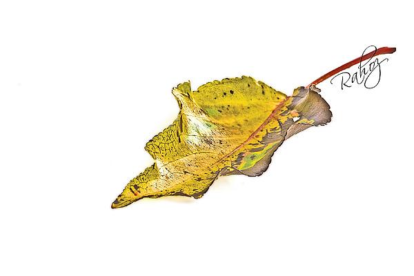 Leaf Photograph - Fallen Leaf by Rahat Iram