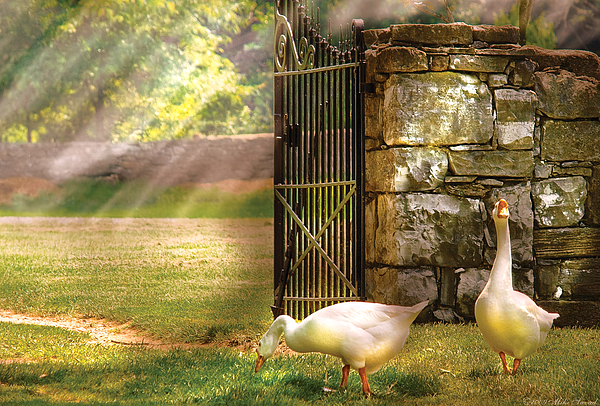 Savad Photograph - Farm - Geese -  Birds Of A Feather by Mike Savad