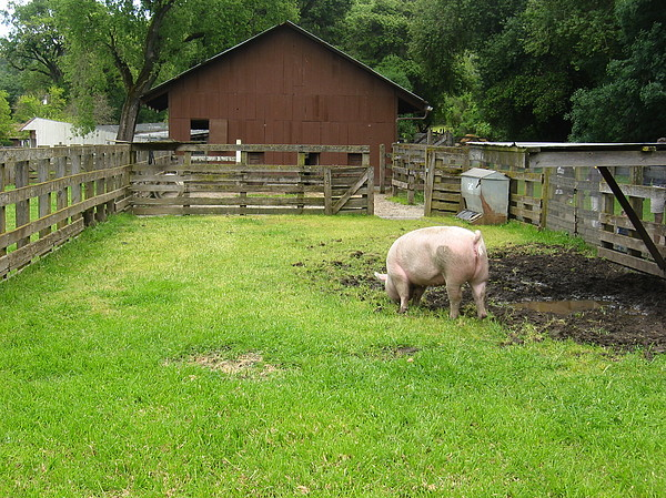 Pig Photograph - Farm With Pig by Halle Treanor