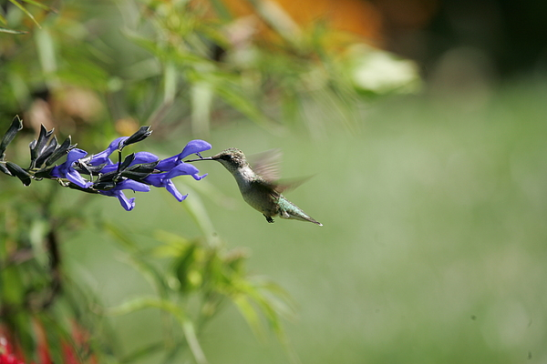 Hummingbird Photograph - Fast Forward by E Mac MacKay