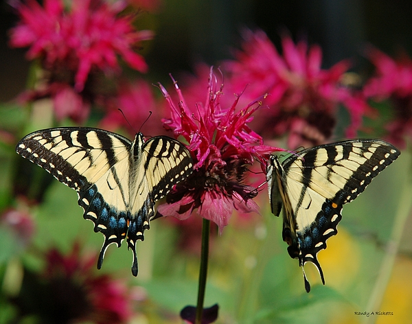 Tiger Swallowtail Photograph - Feeding Tigers by Randy Ricketts