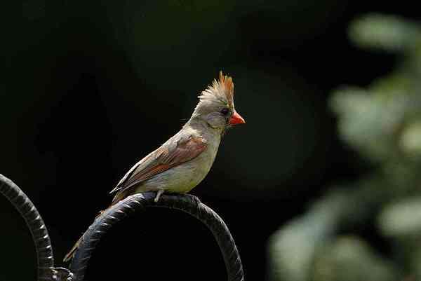 Cardinals Photograph - Female Cardinal by James Wallace