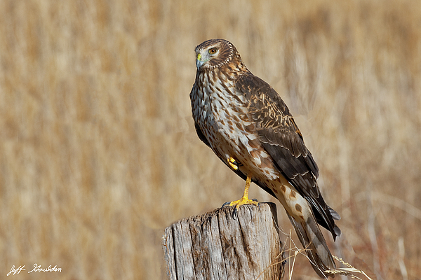 Adult Photograph - Female Northern Harrier Standing On One Leg by Jeff Goulden