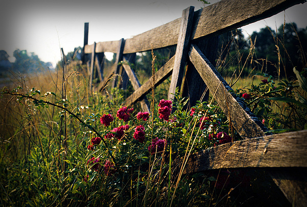 Flower Photograph - Fence And Roses by Dave Chafin