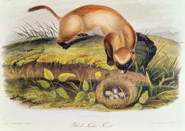 Black-footed Ferret From Quadrupeds Of North America (1842-5) By John James Audubon (1785-1851) Painting - Ferret by John James Audubon