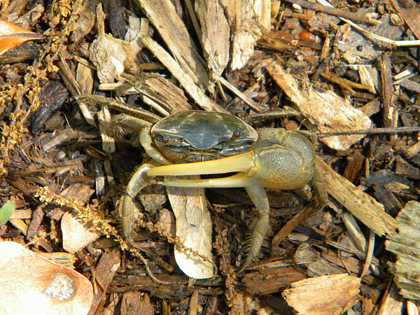 Crab Photograph - Fiddler On The Ground by JoAnn Wheeler