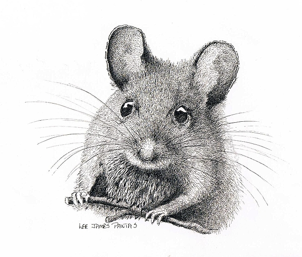 Field Mouse Or Meadow Vole Drawing by Lee Pantas
