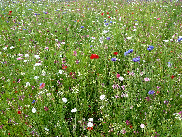 Green Photograph - Field Of Flowers by Sean Welsby