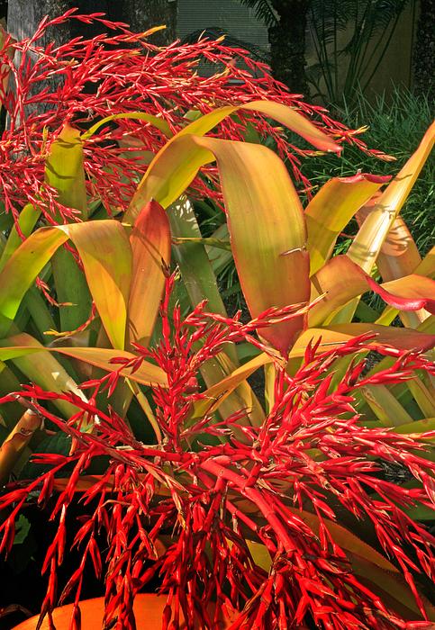 Flowers Photograph - Firecracker Bromeliad by Stephen Mack