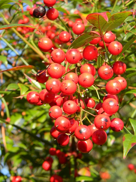 Red Berries Photograph - Firethorn Pyracantha Red Cushion by Warren Thompson